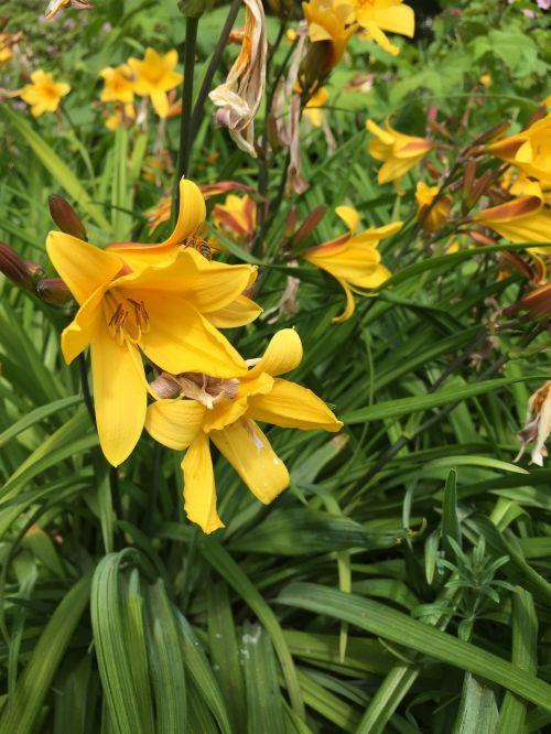 lelijos,geltona,gėlės,flora