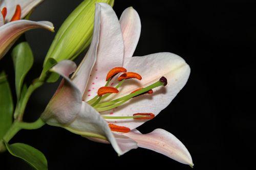 lelija,žiedas,žydėti,pistil,balta,gėlė,Uždaryti,dienos diena