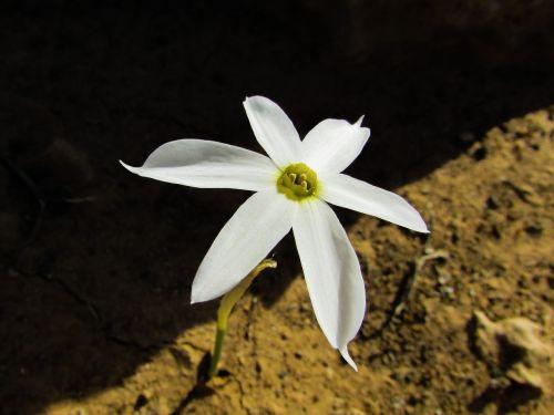 lelija,gėlė,balta,žiedas,žiedlapis,gamta,flora,smėlio lelija,Kipras