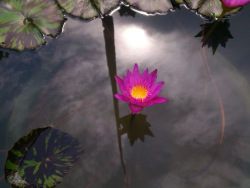 lelija,violetinė,purpurinė lelija,lelijos šeima,lotosas,žydėti,vanduo,purpurinė gėlė,gamta,gėlių,flora,žiedas,vandens,vandens lelija,gėlė