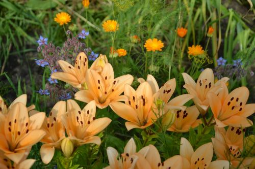 lelija,gėlės,sodas,dacha,lašišos lelijos,sodo gėlės,gamta,vasaros gėlės,vasara,gražios gėlės,žiedlapiai,žiedadulkės,flora