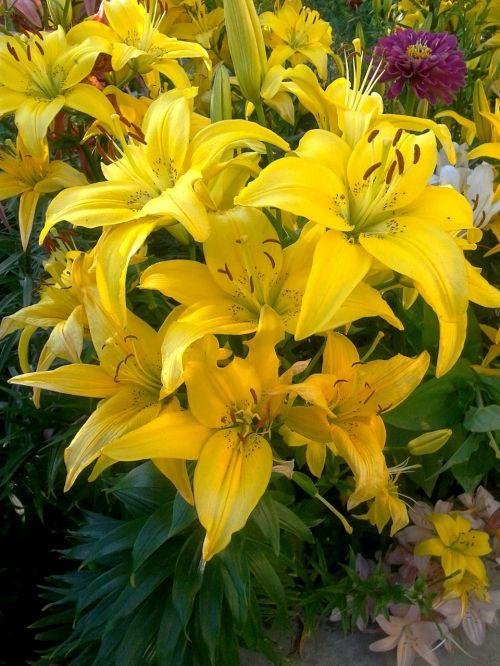 lelija,gamta,gėlės,žydėti,geltonos lelijos,dacha,sodas,grožis,gražios gėlės,kvepalai,vasaros gėlės,sodo gėlės,lelijos arti,žiedlapiai,gėlių žiedlapiai,vasara