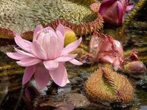 lelija,vandens lelija,victoria lelija,vanduo,lapai,augalas,gamta,Amazon,Amazonica,tvenkinys,gėlė,flora,žalias,didelis,ežeras,žiedas,lotosas,žydėti,egzotiškas,vandens lelija,žydi,plūdė,lelija,Viktorija,rytietiškas