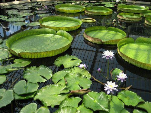 lelija,tvenkinys,kew sodai,botanikos,botanikos,gėlė,žalias,vanduo,botanika,sodas,kew,žydi,švarus,spalva,spalvinga,flora,ramus,vandens,šiltnamyje,milžinas