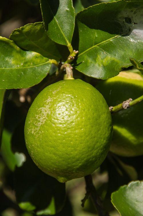 kalkės,Tahitiano kalkės,citrusiniai,vaisiai,medis,žalias,auga,Iš arti