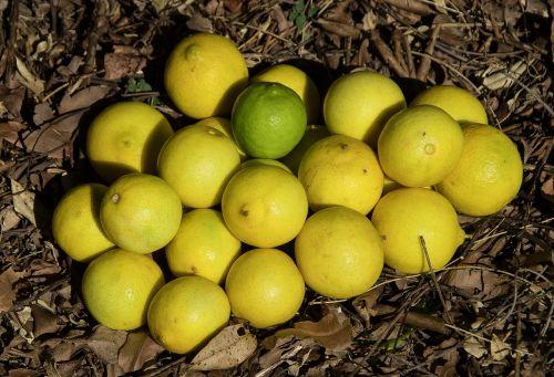 laimai,Tahitiano kalkės,Persijos kalkės,citrusinių latifolia,vaisiai,citrusiniai,sultingas,geltona,žalias