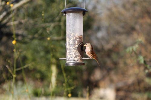 linnet,sodo paukštis,Britanija,Warwickshire,paukštis,ruda,finch,sodas,gamta,perching,raudona,sėdi,laukiniai,paukščių stebėjimas,spalvinga,spalvinga,lauke,sustingęs,plunksna