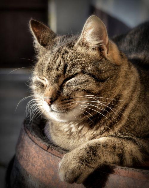 katė, melas, tingus, atsipalaiduoti, miegoti, gyvūnas, saulė, žvėrys, naminis, nuotraukos, Laisvas, tingus saulėtą dieną