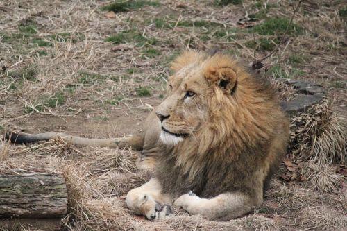 liūtas,laukiniai,laukinė gamta,katė,didelis,žinduolis,kačių,mėsėdis,leo,Žiurkė,didingas,galia,panthera,rūšis,poilsio,zoologijos sodas