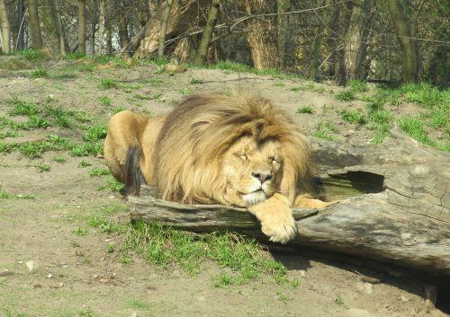 liūtas,Laukiniai gyvūnai,zoologijos sodas,zoologijos sodas,gamta,žinduolis,gyvūnas,fauna