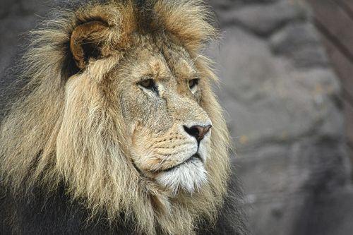 liūtas,didingas,berniukas,karalius,laukinė gamta,afrika,asija,leo,laukiniai,žinduolis,Žiurkė,portretas,mėsėdis,katė,plėšrūnas,galva,veidas,padaras,liūto galvą,didžiuojasi,auksinis,galingas,jėga,panthera leo,felidae
