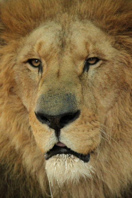 liūtas,kačių,afrika,laukiniai,safari,Savanah,gyvūnai,laukinė gamta,tyrimai,Laukiniai gyvūnai