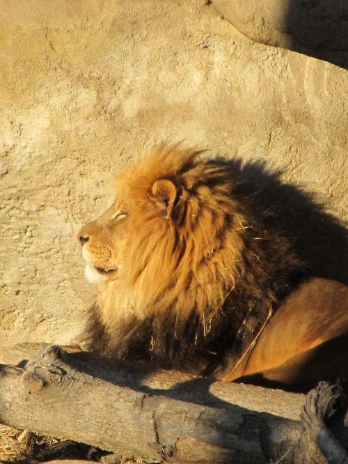 liūtas,Patinas,laukinė gamta,gamta,kačių,zoologijos sodas,buveinė,poilsio,profilis,galva,saulėlydis,šešėliai,žiūri,didelė katė,panthera leo,plėšrūnas,žurnalas