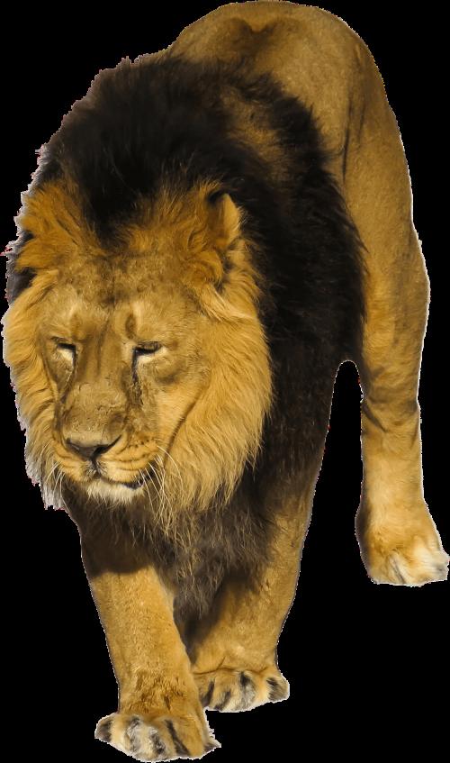 liūtas,laukiniai,gyvūnas,laukinė gamta,afrika,katė,leo,kačių,kailis,plėšrūnas,didelis,pavojingas,medžiotojas,Patinas,izoliuotas,skaidrus