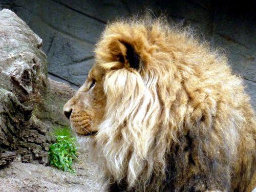 liūtas,liūtai vyrai,gyvūnų galvą,liūto galvą,liūto menkė,galva,gyvūnas,žinduolis,Uždaryti,plėšrūnas,katė,Patinas,didelė katė,gamta,Žiurkė,padaras,zoologijos sodas,gyvūnų portretas