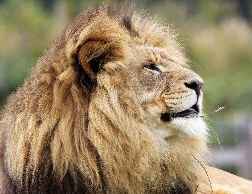 liūtas,didelė katė,didelis,katė,laukinė gamta,laukiniai,mėsėdis,kačių,gyvūnas,plėšrūnas,medžiotojas,afrika,žinduolis,portretas,karalius,rėkti,pasididžiavimas,leo,pūkuotas
