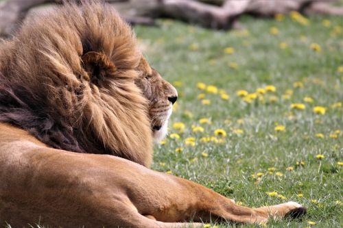 liūtas,didelė katė,laukinė gamta,gyvūnas,laukiniai,plėšrūnas,safari,leo,mėsėdis,džiunglės karalius,zoologijos sodas,didelė katė,medžiotojas,Žiurkė,vyrukas-liūtas,leo-the-liuo,laukinis katinas,Afrikos liūtas,liūto katė,afrika,pasididžiavimas