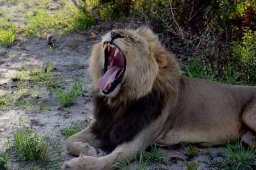 liūtas,žiurkė liūtas,mieguistas liūtas,pavargęs liūtas,botsvana,safari,afrika