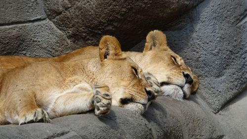 liūtas,zoologijos sodas,Hagenbeck zoologijos sode,didelės katės,nap