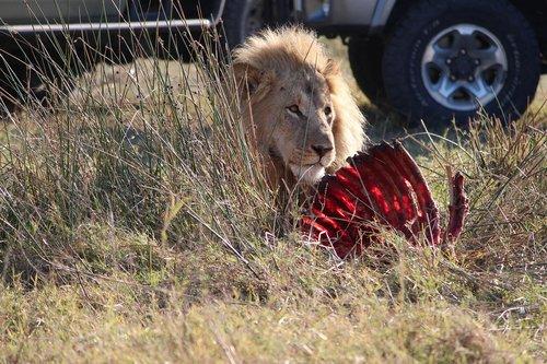 liūtas, nužudyti, Afrikoje, maitinimas
