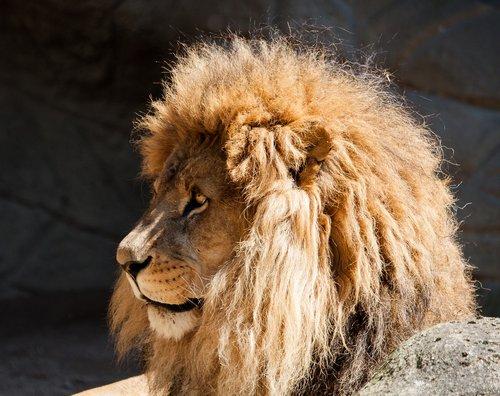 liūtas, Patinas, didelė katė, gyvūnas, žinduolis, Hagenbeck zoologijos sodas
