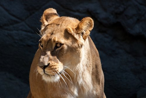 liūtas, liūtės, Predator, didelė katė, Moteris, Hagenbeck zoologijos sodas
