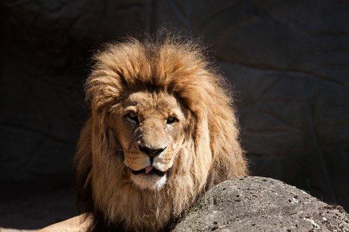 liūtas, Predator, didelė katė, Patinas, Hagenbeck zoologijos sodas