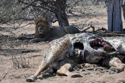 liūtas,cadaver,maistas,laukinė gamta,žirafa,afrika,safari,botsvana,nužudyti