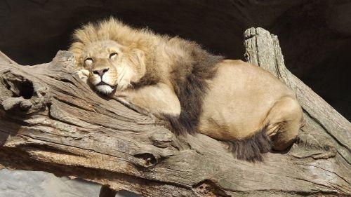 liūtas,Hagenbeck,hamburgas,zoologijos sodas