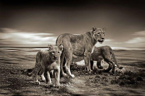 liūtas,liūtys,laukinis gyvūnas,safari,gyvūnas,laukinė gamta,gyvūnų pasaulis,žinduolis,kailis,katė,jaunas liūtas,kūdikių gyvūnas,paw,afrika,plėšrūnas,kelionė,Wildcat,liūto kūdikiai,vaikystę,mėsėdžiai,laukinės gamtos fotografija,dangus,liūto menkė,laisvė
