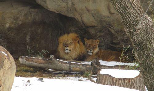 liūtas, liūtas, dideli & nbsp, katės, karalius, džiunglės, kačių, poilsio, sniegas, žiema, zoologijos sodas, gaubtas, fonas, tapetai, viešasis & nbsp, domenas, plėšrūnas, mėsėdis, žinduolis, kailis, medžiotojas, Patinas, Moteris, žiūri, portretas, liūtas ir liūtas