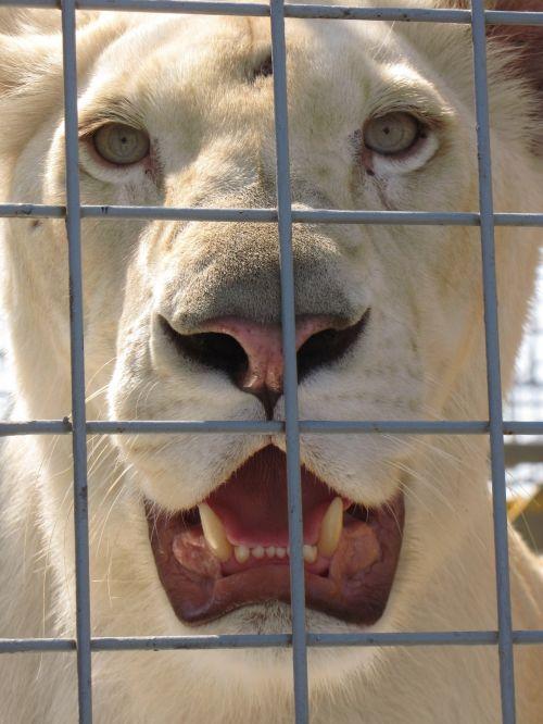 gyvūnas, liūtas, liūtas, narve, zoologijos sodas, cirkas, dantis, gyvūnai, žinduolis, sulaikytas liūtas