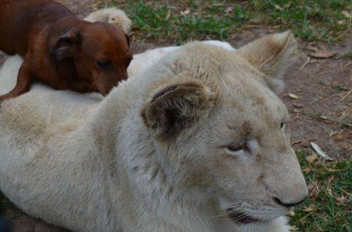 liuo su šunimis,liūtas,šuo,afrika,laukinė gamta,keista pora,gyvūnai,keistas,Cub