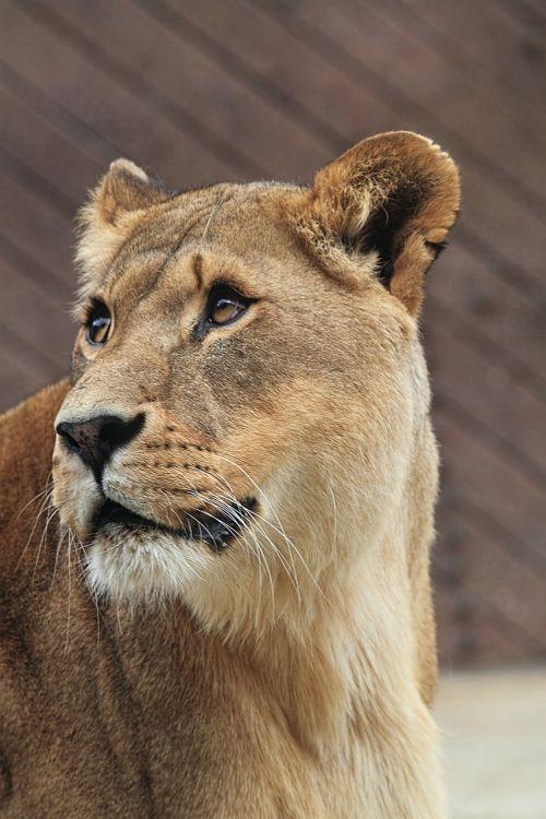 liūtas,Afrikos,katė,gyvūnas,liūtas,plėšrūnas,laukiniai,mėsėdis,safari,žinduolis,leo,Moteris,medžiotojas