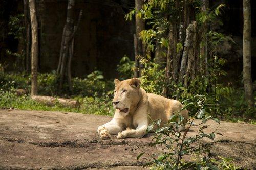liūtės, liūtas, gyvūnas, Safari, zoologijos sodas, dykuma, žvėris, Zoologijos sodas, melas