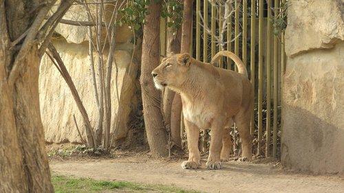 liūtės, Prahos Zoo, Panthera leo persica, liūtas Indian, patelė liūtas
