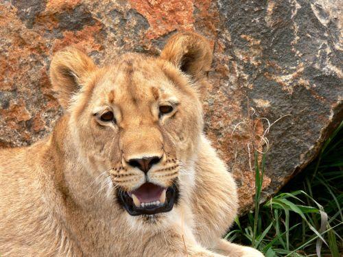 liūtas, liūtas, katė, leo, laukiniai, laukinė gamta, gyvūnas, afrika, liūto roku