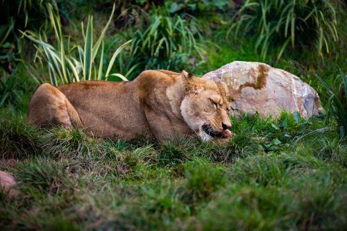 gyvūnas, katė, valgymas, liūtas, liūtas, galingas, zoologijos sodas, Liūtas valgyti