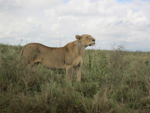 Liūtas Afrikoje,liūtas kenya safari,laukinė gamta,liūtas,mėsėdis,liūtas
