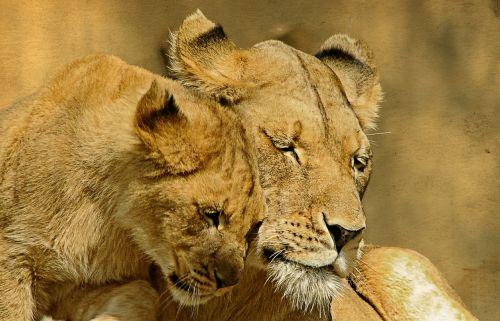 liūtys,gyvūnas,žinduolis,švelnus,meilė,mielas,meilė,priežiūra,kartu,mielas,gamta,švelnumas,kūdikis,saldus,veidas