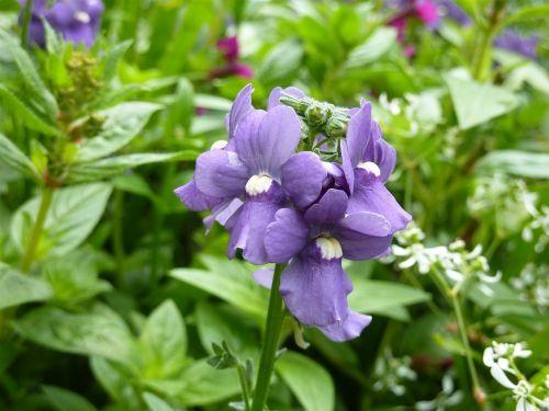 lūpų žydėjimas,violetinė,sodo augalas,žiedas,žydėti,violetinė