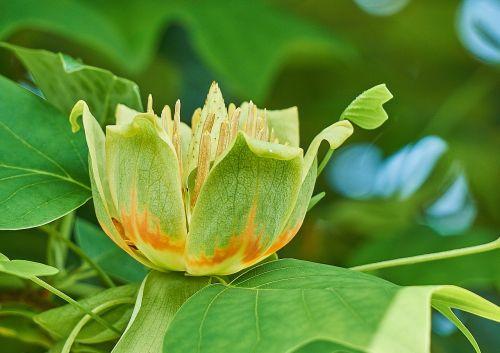 liriodendron tulipifera,tulpių medis,gėlė,magnoliaceae,medis,gamta,sodas,žydėti,gėlės,medžiai,augalas,čalis,sepal,gėlių puokštė,karūna,žiedlapis,žiedlapiai,korola,tuti,žiedadulkės,pestle