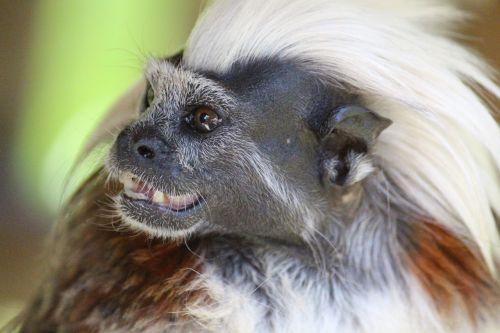 liszt äffchen,beždžionė,gyvūnas,iroquois,beždžionių portretas,gamta,zoologijos sodas,mielas,sąmoningas,galva,veidas,figūra,vaizdas,affchen,portretas,padaras,žinduolis,kerlchen,juokinga,demoniškas