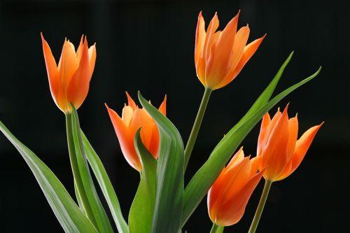 apšviestas,šviesus,oranžinė,tulpės,šviesa,lapai,tulpių galvutės,žiedlapis,juoda,fonas,žalias,dizainas,erdvė,gyvas,ryškiai,apšviestas,spalva,tamsi