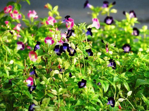 mažos gėlės,sodas,rožinės gėlės,mėlynos gėlės,spalvingos gėlės