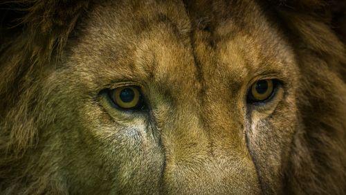 gyvoji gamta,gyvūnai,žinduoliai,portretas,gamta,leo