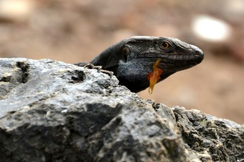 driežas,salamandras,ropliai,gamta,gyvūnas,padaras,terariumas,ropliai,Gekko