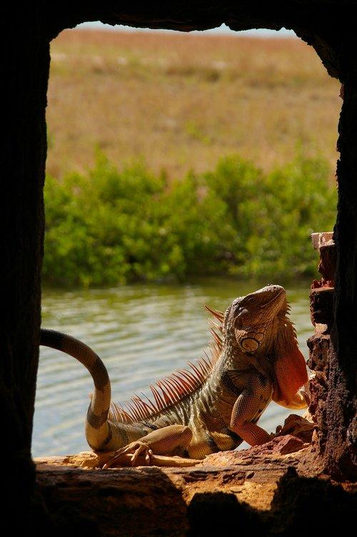 driežas, Gyvūnijos pasaulyje, pobūdį, roplys, gyvūnas, ropliai, egzotiškas, iguana, egzotiškas gyvūnas