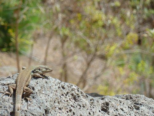 driežas,kalno teide,Tenerifė