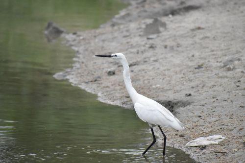 ilgas snapas,juodas snapas,sibiro kranas,balta paukštis